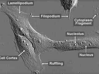 Cell Motility | MicroscopyU